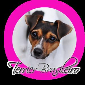 o rasie terier brazylijski