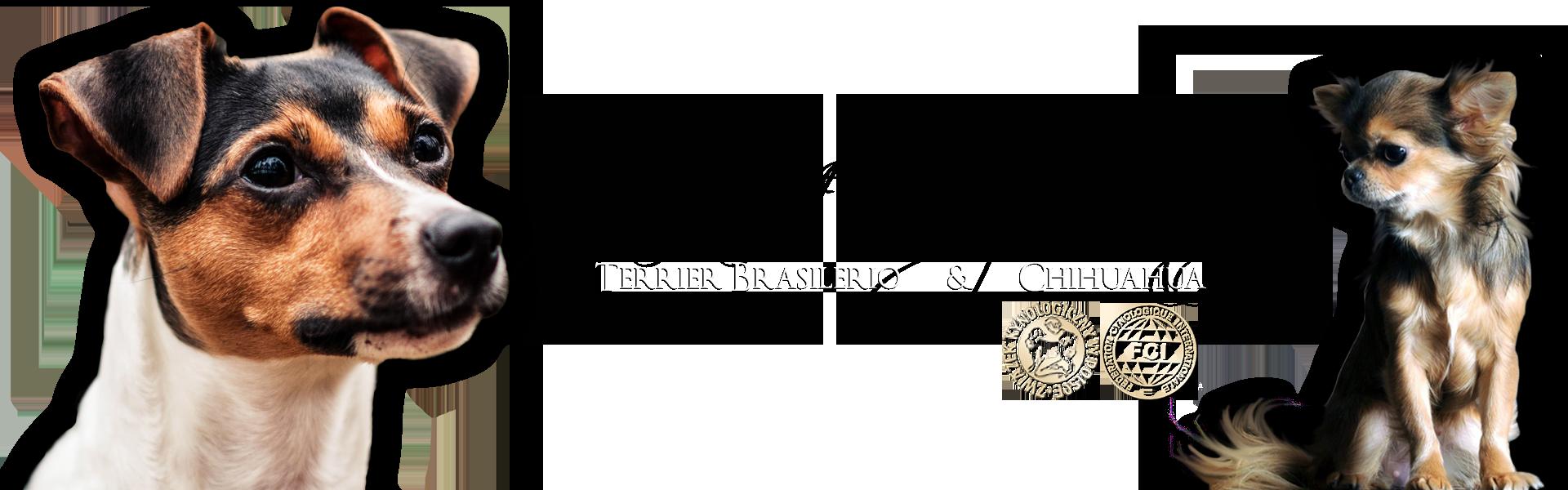 Terier brazylijski & chihuahua – hodowla psów rasowych