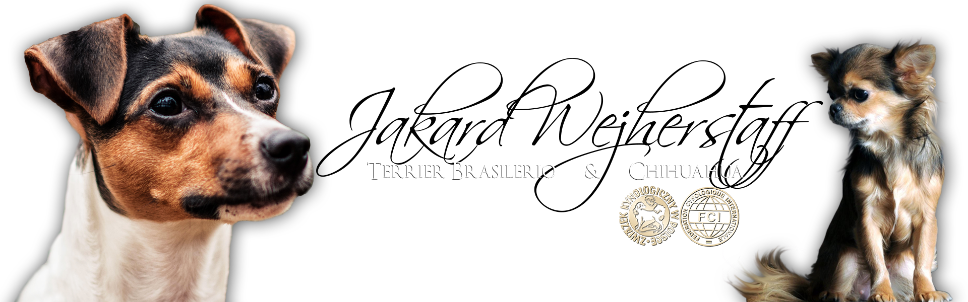 Terier brazylijski & chihuahua – Jakard Wejherstaff FCI